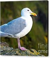 Seagull Heceta Head - Oregon Canvas Print