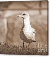 Seagull In Sephia Canvas Print