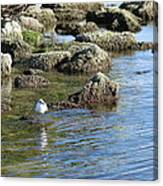 Seagull In The Water Canvas Print