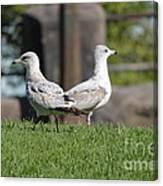 Seagull Opposites Canvas Print