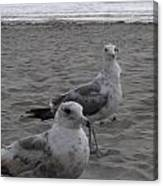 Seagulls two Canvas Print