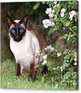 Seal Point Siamese Cat Canvas Print