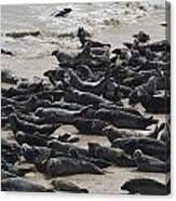 Seals On The Blasket Island Canvas Print