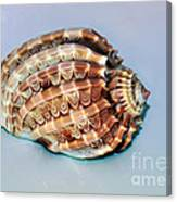 Seashell Wall Art 9 - Harpa Ventricosa Canvas Print