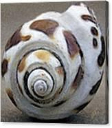 Seashells Spectacular No 2 Canvas Print