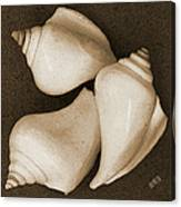 Seashells Spectacular No 4 Canvas Print