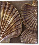 Seashells Spectacular No 7 Canvas Print