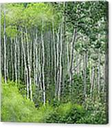 Seasons Of The Aspen Canvas Print