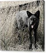 Seattle Silver Fox Canvas Print