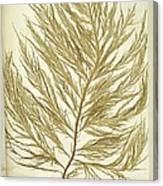 Seaweed (desmarestia Ligulata) Canvas Print