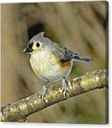 Seed On Tufted Titmouse Canvas Print