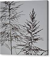 Seed Tops Canvas Print