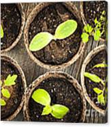 Seedlings Growing In Peat Moss Pots Canvas Print