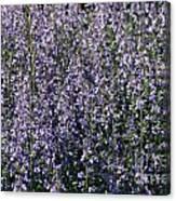 Seeing Lavender Canvas Print