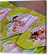 Selling Betel Nut For Chewing In Tachilek-burma Canvas Print