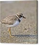 Semi-palmated Plover Pictures 34 Canvas Print