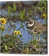 Semi-palmated Plover Pictures 44 Canvas Print