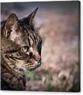 Senior Cat Canvas Print