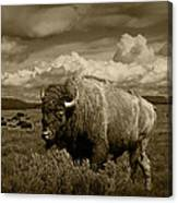 King Of The Herd Canvas Print