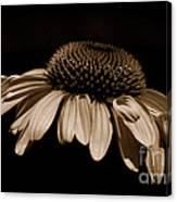 Sepia Daisy Canvas Print