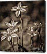 Sepia Dreams Canvas Print