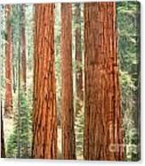 Sequoia Canvas Print
