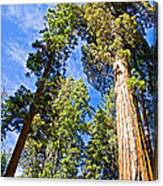 Sequoias Reaching To The Clouds In Mariposa Grove In Yosemite National Park-california Canvas Print