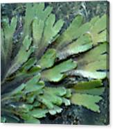 Serrated Or Toothed Wrack Canvas Print