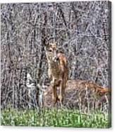 Sertoma Park Deer Canvas Print
