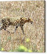 Serval Cat - Kenya Canvas Print