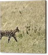 Serval Hunting Canvas Print