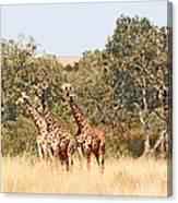 Seven Masai Giraffes Canvas Print