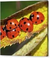 Seven-spot Ladybirds On A Leaf Canvas Print