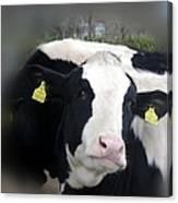 Sexy Cow Canvas Print