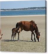 Shackleford Banks Foal Canvas Print