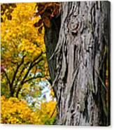 Shagbark Hickory Tree Canvas Print