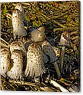 Shaggy Ink Caps - Coprinus Comatus Canvas Print