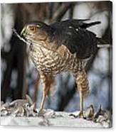 Sharp-shinned Hawk And Feather Canvas Print