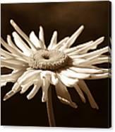 Shasta Daisy Flower Sepia Canvas Print
