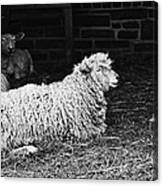 Sheep 2 Canvas Print
