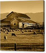 Sheep And Barn Canvas Print