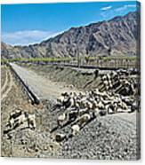 Sheep Crossing The Road To Shigatse-tibet  Canvas Print