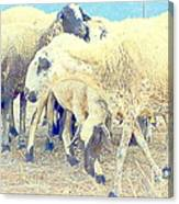 It's So Sheep To Be In The Middle Of A Crowd Canvas Print