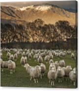 Sheep Flock At Dawn Arrowtown Otago New Canvas Print