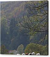 Sheep In A Line Canvas Print