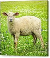 Sheep In Summer Meadow Canvas Print