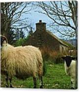 Sheep Of Donegal Ireland Canvas Print