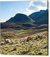 Sheep On Grassland Highlands Scotland Uk Canvas Print