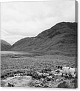 sheep on rough ground Doulough County Mayo Canvas Print