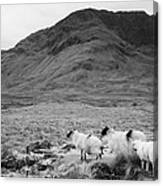 sheep on rough ground Doulough Canvas Print